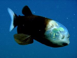 ikan-aneh1