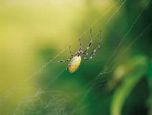 laba-laba