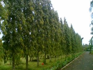 pohon-2