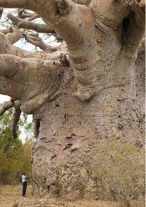 pohon_baobab
