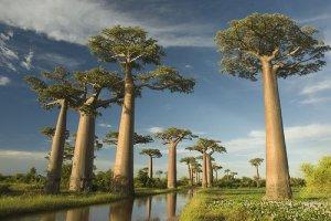 pohon_baobab_2