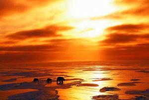 beruang-kutub