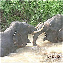 gajah-gay