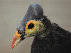 burung maleo